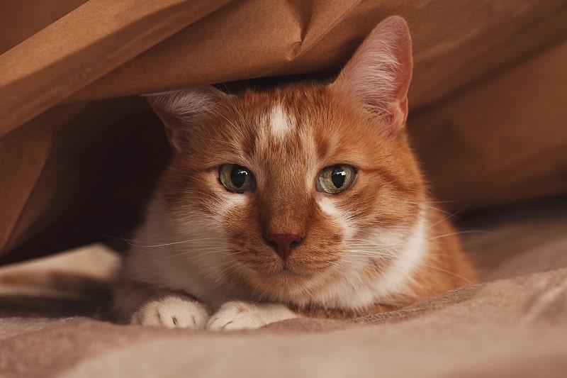 Кошки прячутся, когда умирают?