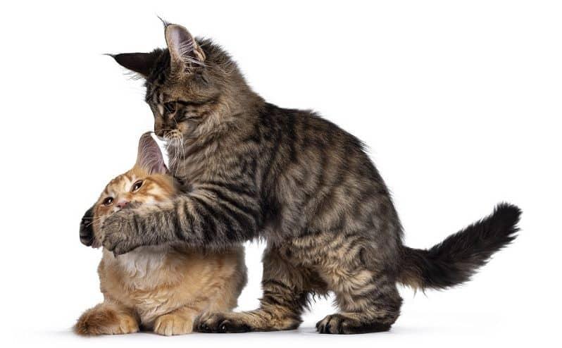 Котенок нападает на старшего кота