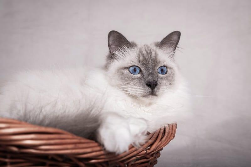 Линяют ли бирманские кошки?