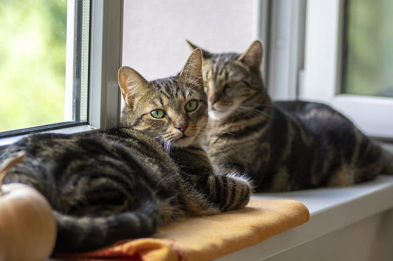 Линяют ли полосатые кошки?