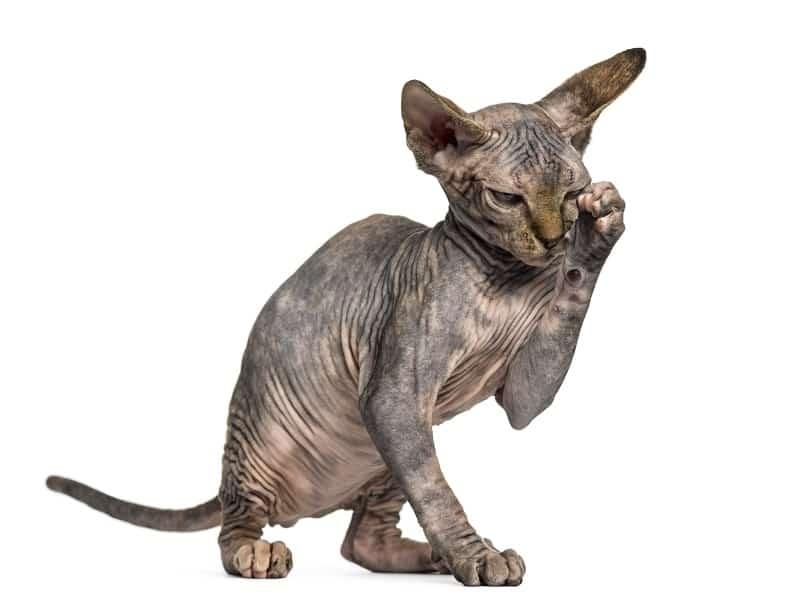 лижут ли лысые кошки?