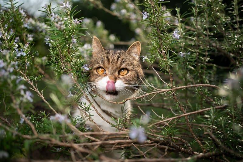 Любят ли кошки розмарин