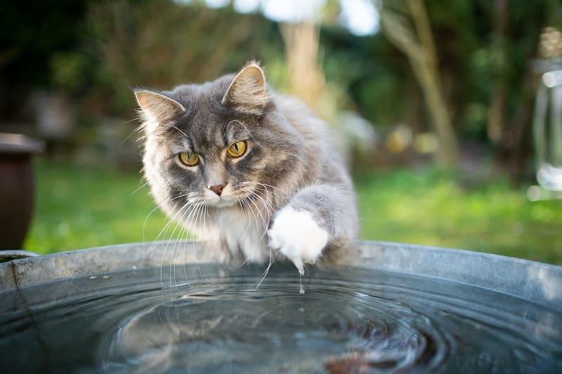 Любят ли мейн-куны воду