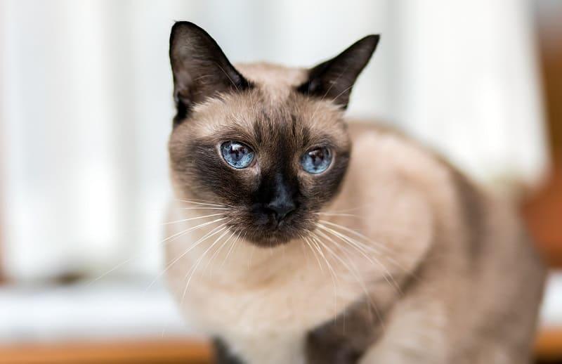 Уживутся ли сиамские кошки с другими кошками