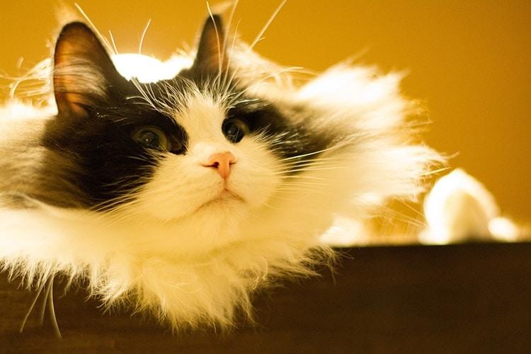 Рагамаффин кошка