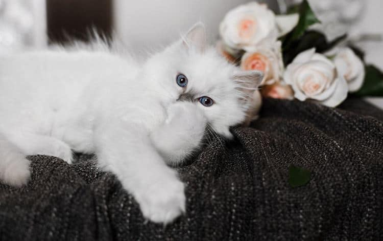 Рэгдолл кошка