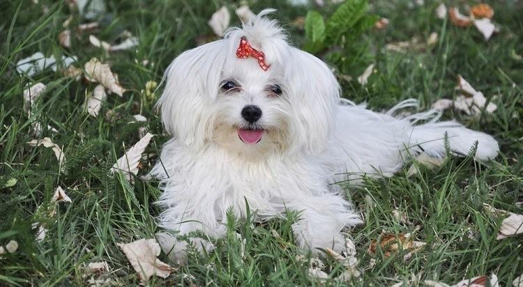 Мальтийская собака