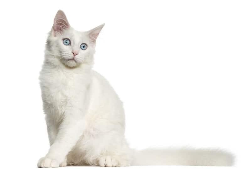 Мейн-кун голубые глаза