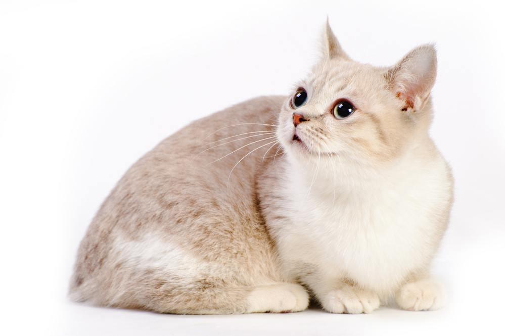 красивый манчкин кот в студии на белом фоне