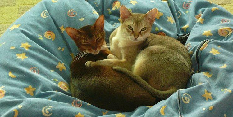 Миниатюрные кошки - 7 самых маленьких пород кошек