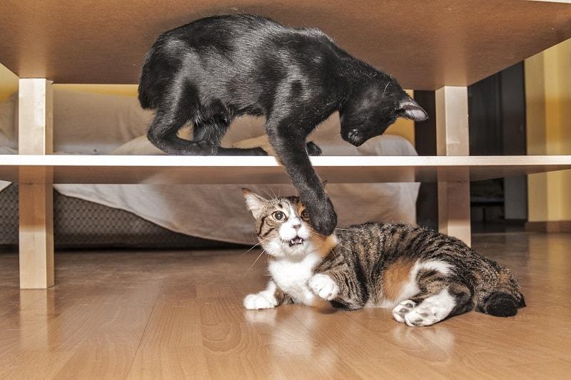 Младшая кошка издевается над пожилой кошкой