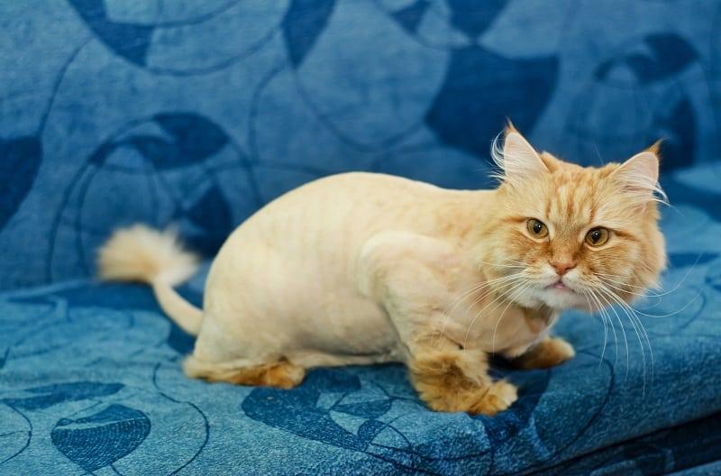 Могу ли я побрить кошку, чтобы избавиться от блох