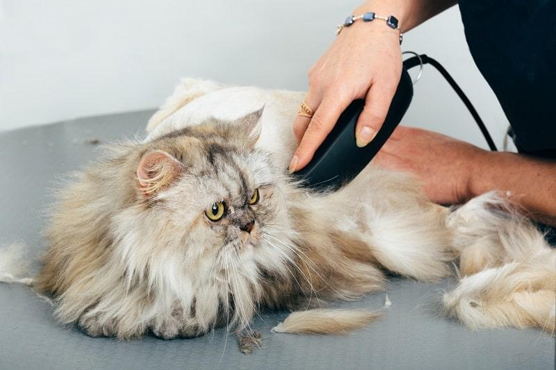 Могу ли я побрить кошку, чтобы она перестала линять?