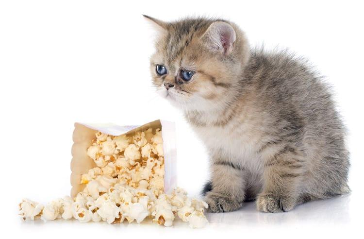 Вы когда-нибудь задумывались, вреден ли попкорн для вашей кошки? Прочтите нашу статью, чтобы узнать…