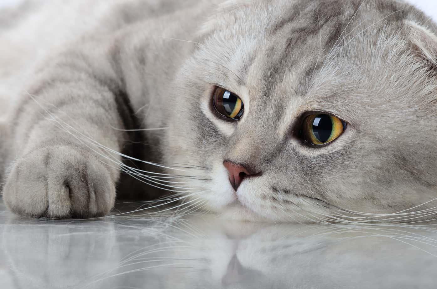 Могут ли кошки иметь пурпурные глаза