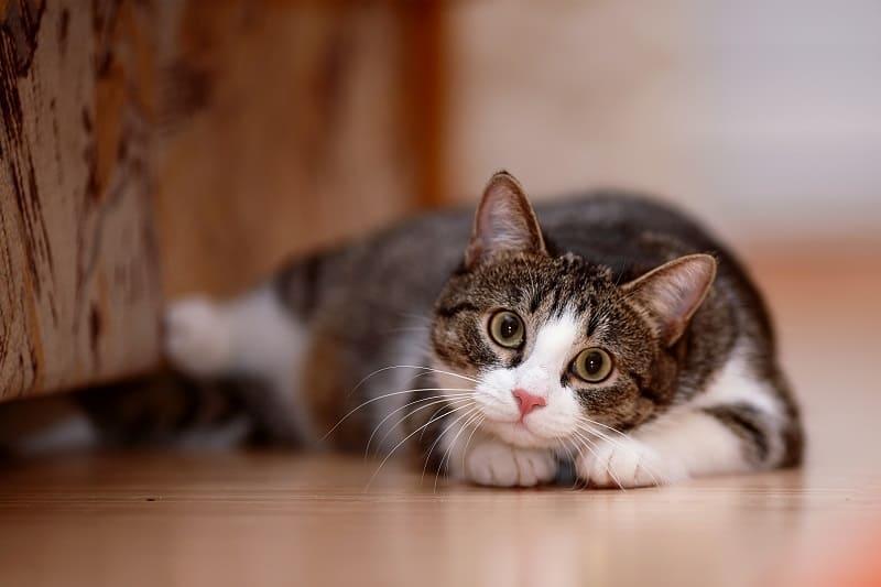 Могут ли кошки шевелить глазами?