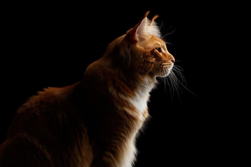 Могут ли кошки видеть в черном как смоль