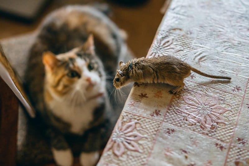 Могут ли мыши почувствовать кошку в доме?