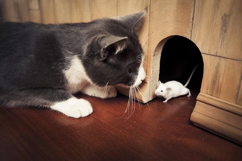 Могут ли обезглавленные кошки ловить мышей
