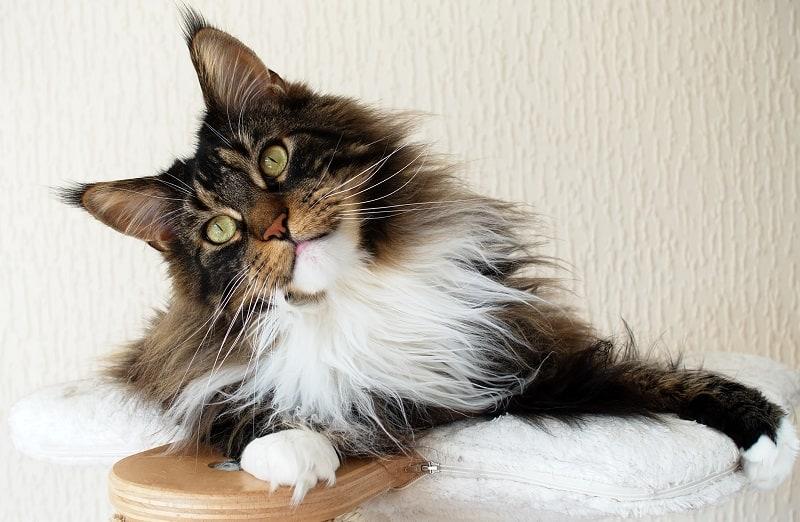 Моя кошка отчасти мейн-кун?