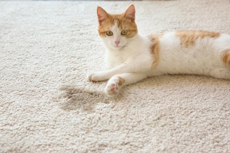 Может ли кошка пописать вызывает плесень