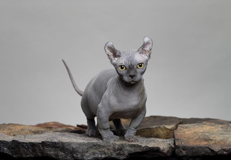 Может ли у вас быть аллергия на голых кошек?