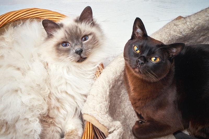 Наличие двух кошек за и против