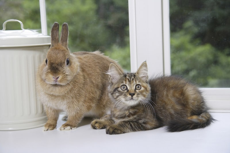 Нападают ли кошки на кроликов