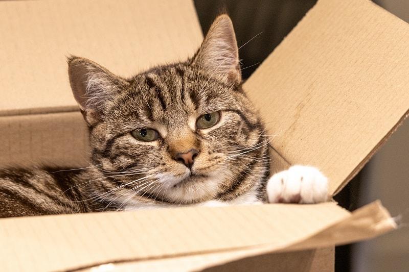 Как становятся большими полосатыми кошками