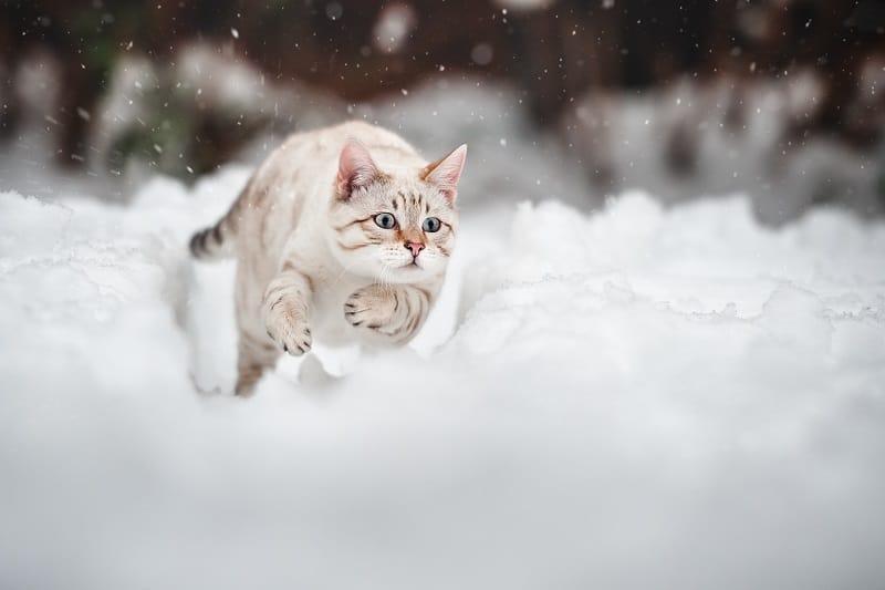 Как быстро может бегать кошка