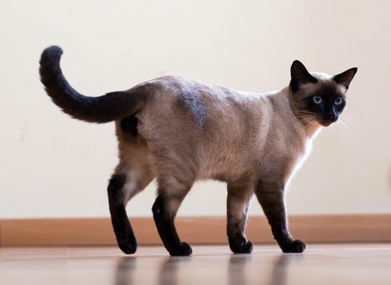 Насколько крупными становятся сиамские кошки