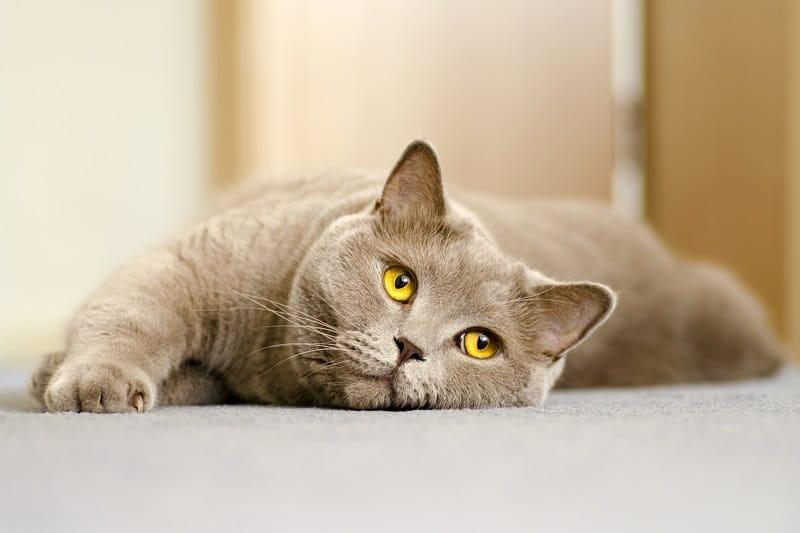 Одиноки ли кошки без другой кошки?