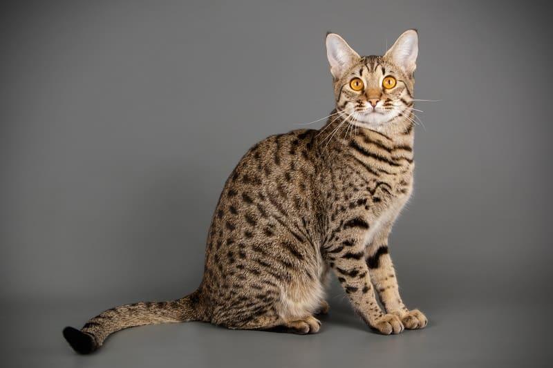 Опасны ли кошки саванны