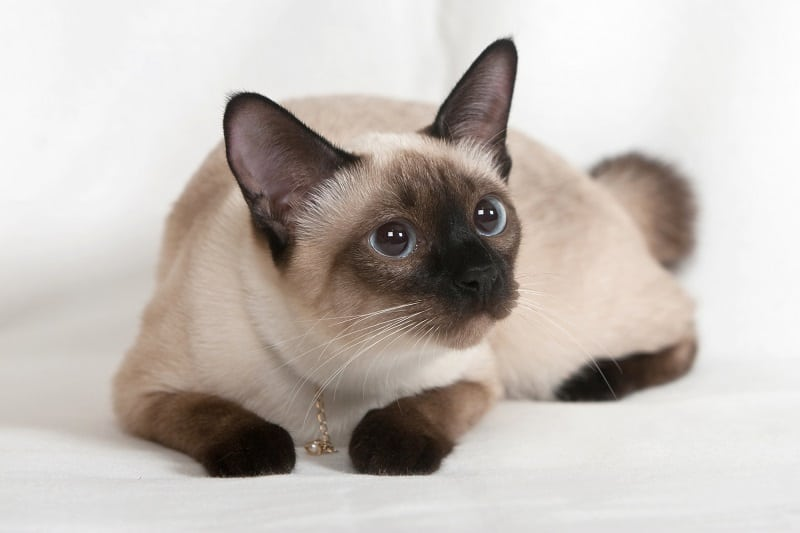 Особенности личности сиамской кошки