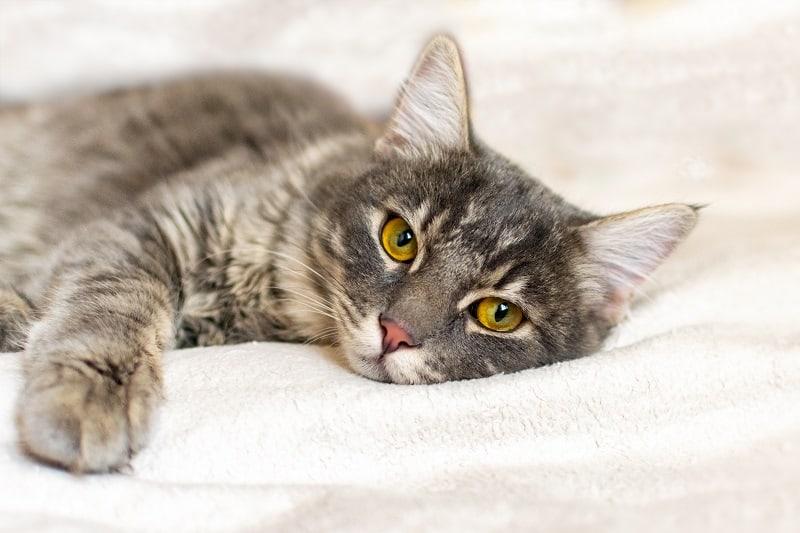 Остановит ли стерилизация агрессию у кошек