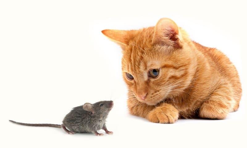 Отгоняют ли кошки мышей