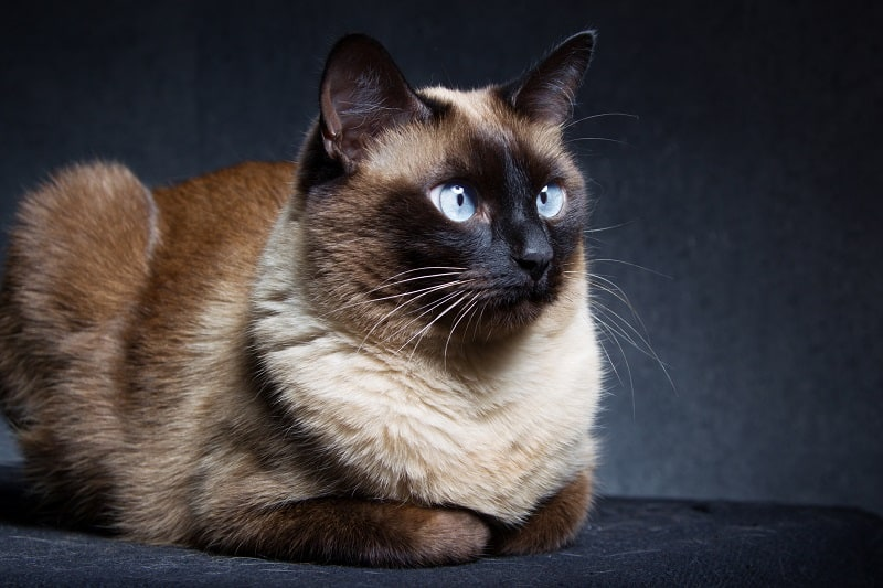 Откуда берутся сиамские кошки