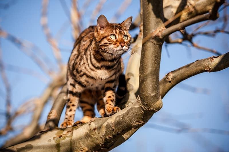 Плюсы и минусы владения бенгальской кошкой
