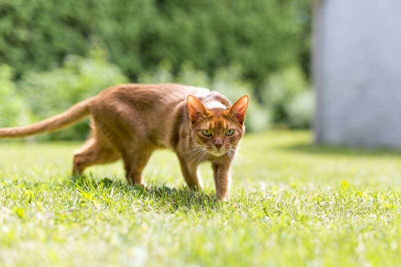 Почему кошки ходят боком