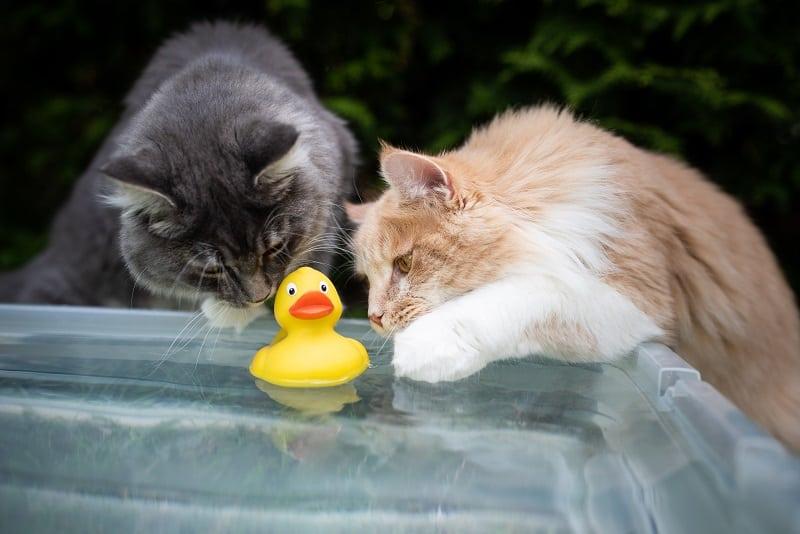 Почему кошки кладут игрушки в воду