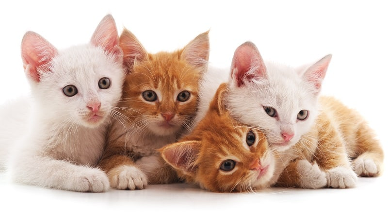 Почему кошки кусают друг друга за уши