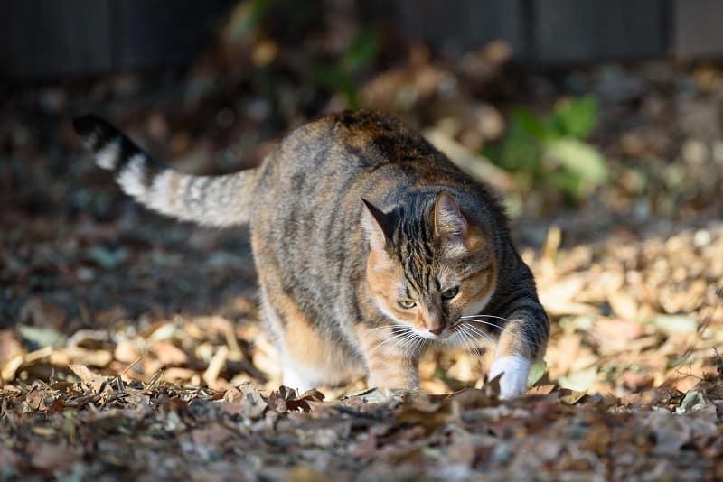 Почему кошки лапают землю?