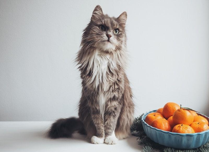 Почему кошки ненавидят цитрусовые