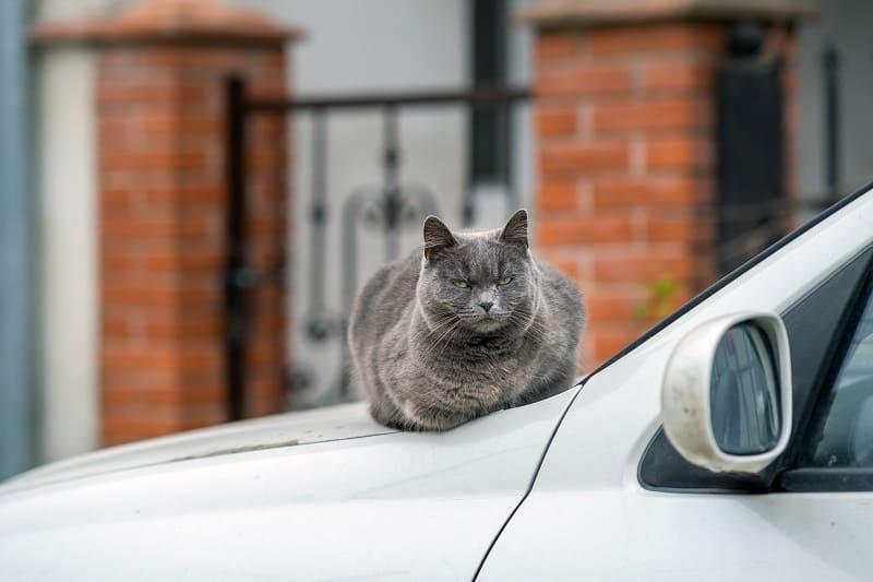 Почему кошки ненавидят поездки на автомобиле?