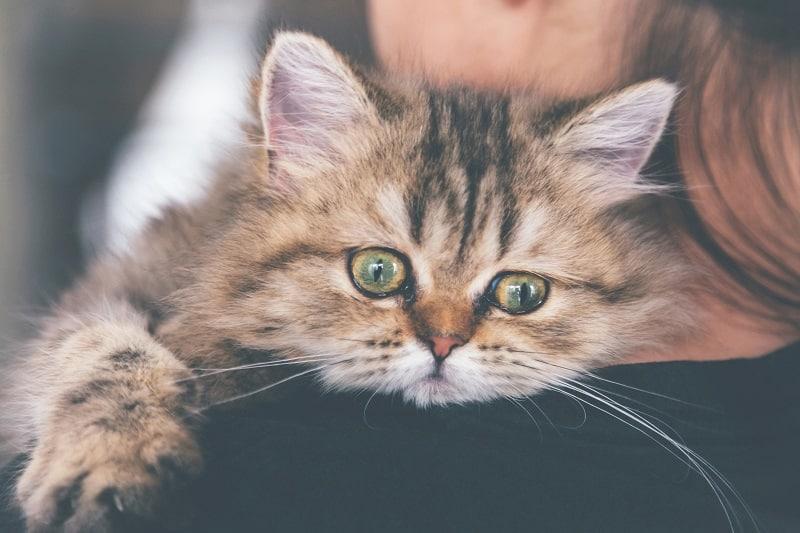 Почему кошки плачут, как младенцы