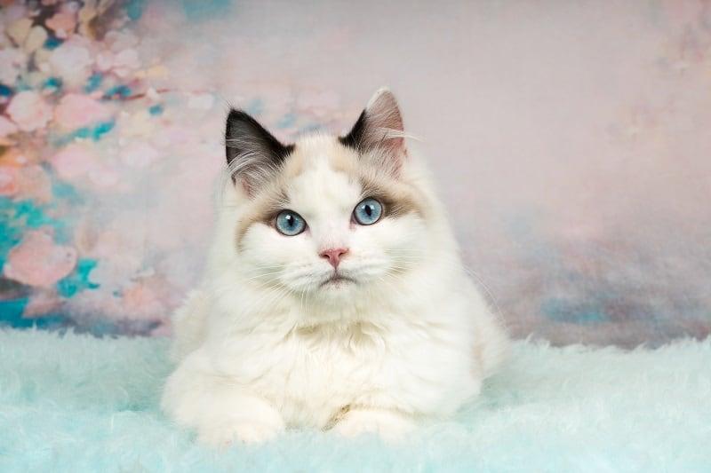 Почему кошки-рэгдоллы хромают