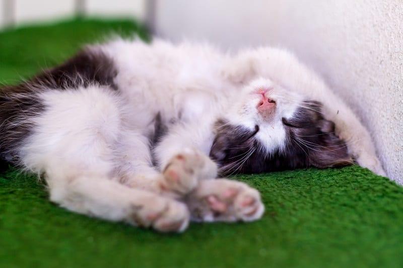 Почему кошки спят головой вниз головой