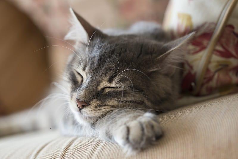 Почему кошки вибрируют