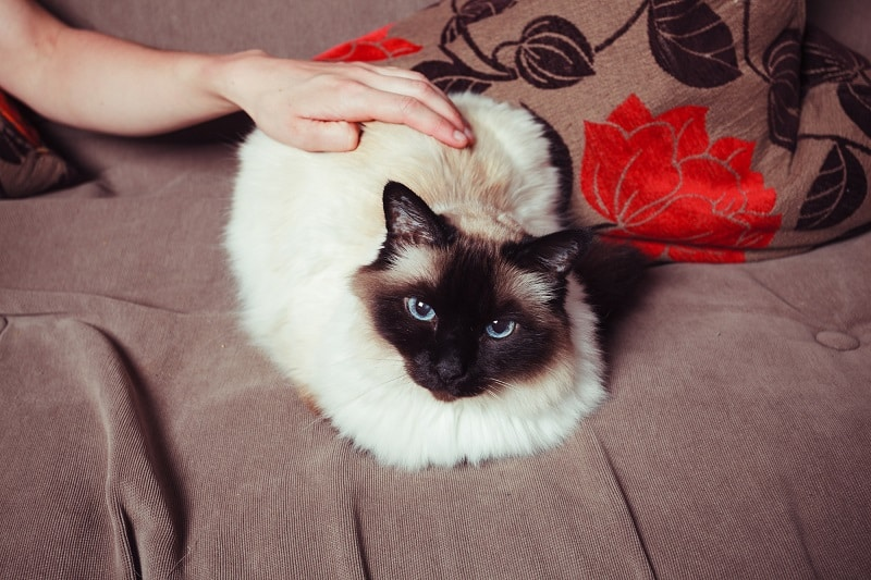 Почему кошки выгибают спину, когда вы их гладите