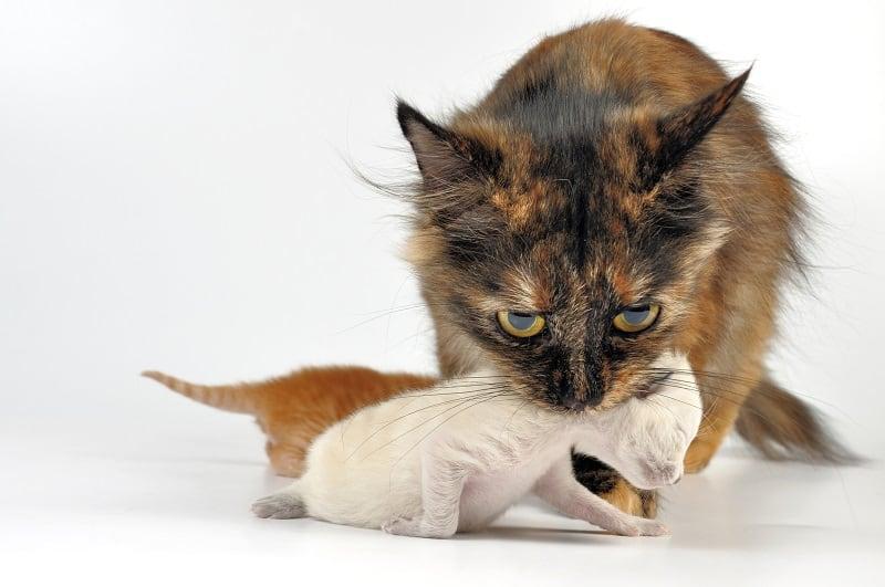 Почему мама-кошка перемещает только одного котенка